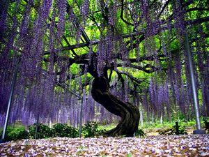 Где увидеть древо жизни - глиниция в кавати фудзи