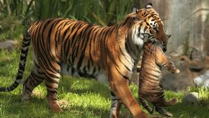 Характер и черты женщин-тигриц