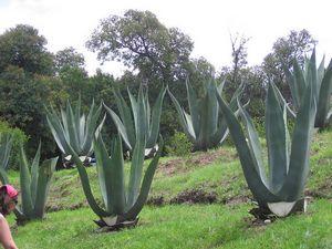 Из чего делают текилу в мексике или что такое голубая агава